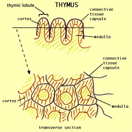 Histology BIOL 4000 - Lymphoid system - LECTURE NOTES 9