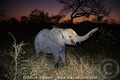 Young African elephant at night-time, South Africa