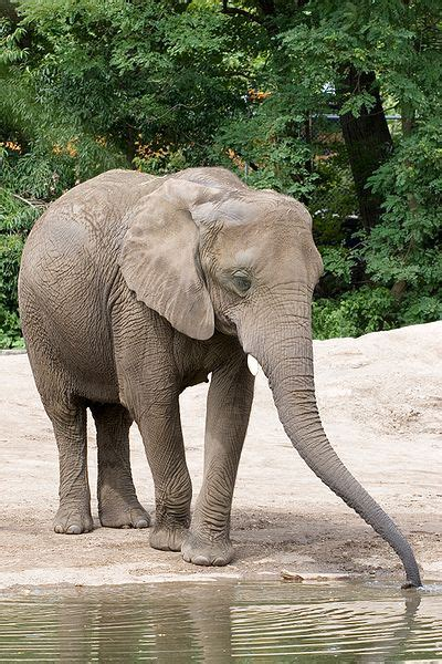 Picture 4 of 25 - African Bush Elephant (Loxodonta