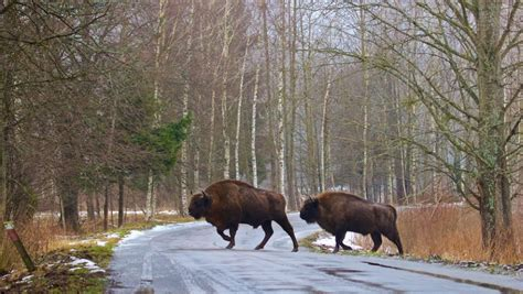 In Poland, a primeval forest is threatened by commercial