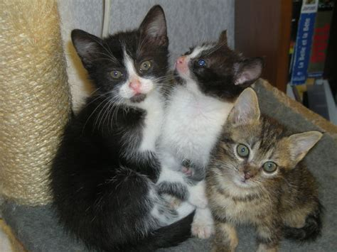 Chaton 2 mois a donner - Annonces chatons